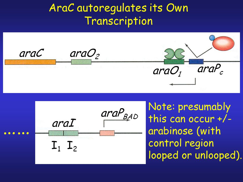 AraC autoregulates its Own Transcription