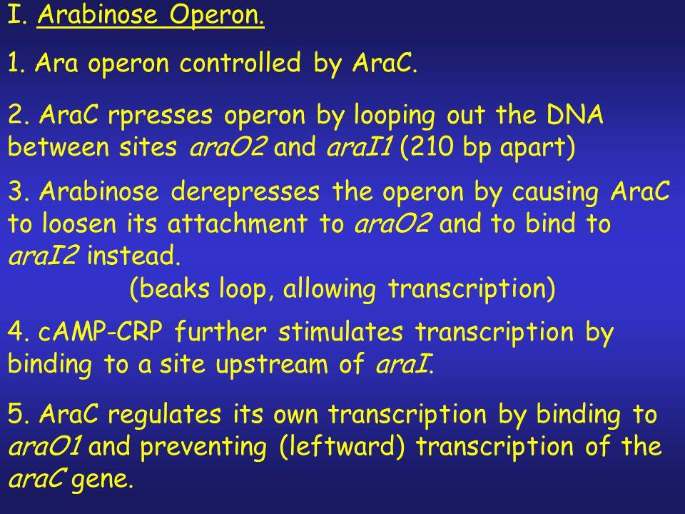 (beaks loop, allowing transcription)