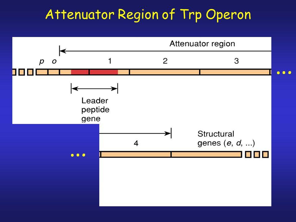 Attenuator Region of Trp Operon