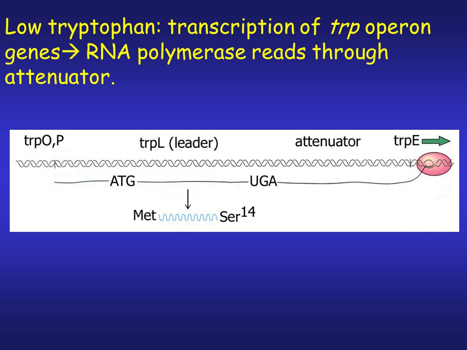 Low tryptophan: transcription of trp operon genes RNA polymerase reads through attenuator.