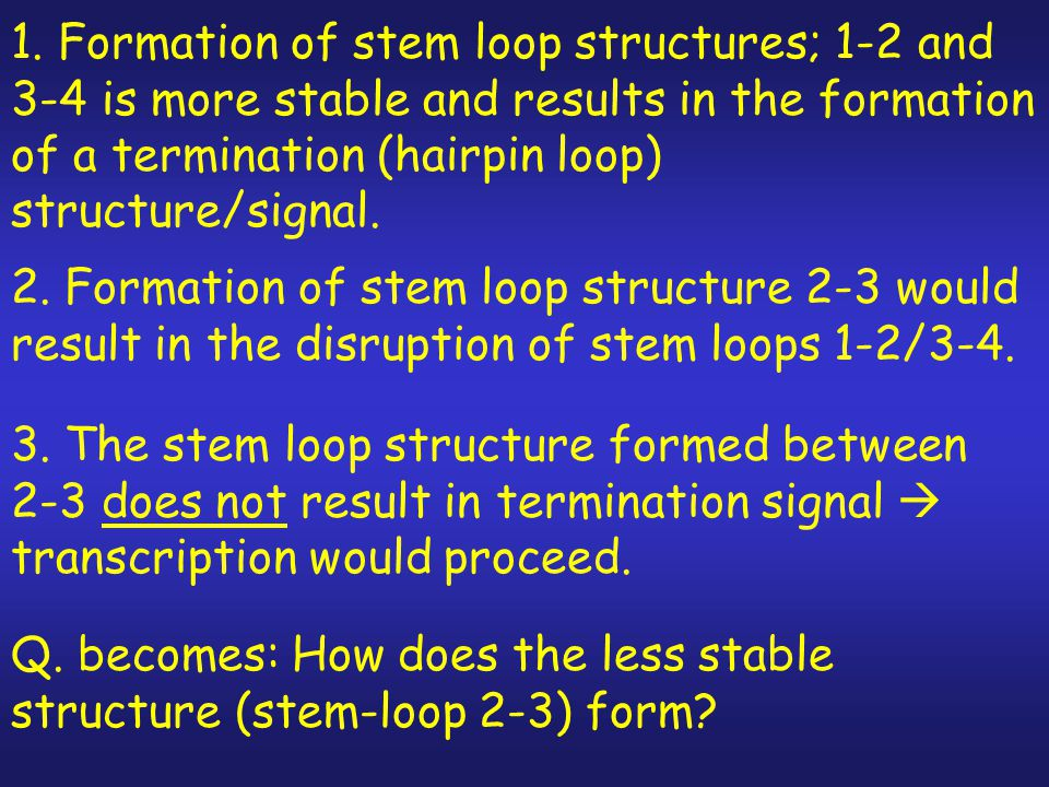 1. Formation of stem loop structures; 1-2 and 3-4 is more stable and results in the formation of a termination (hairpin loop) structure/signal.
