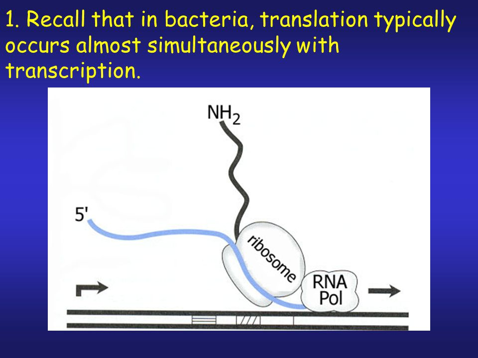 1. Recall that in bacteria, translation typically occurs almost simultaneously with transcription.
