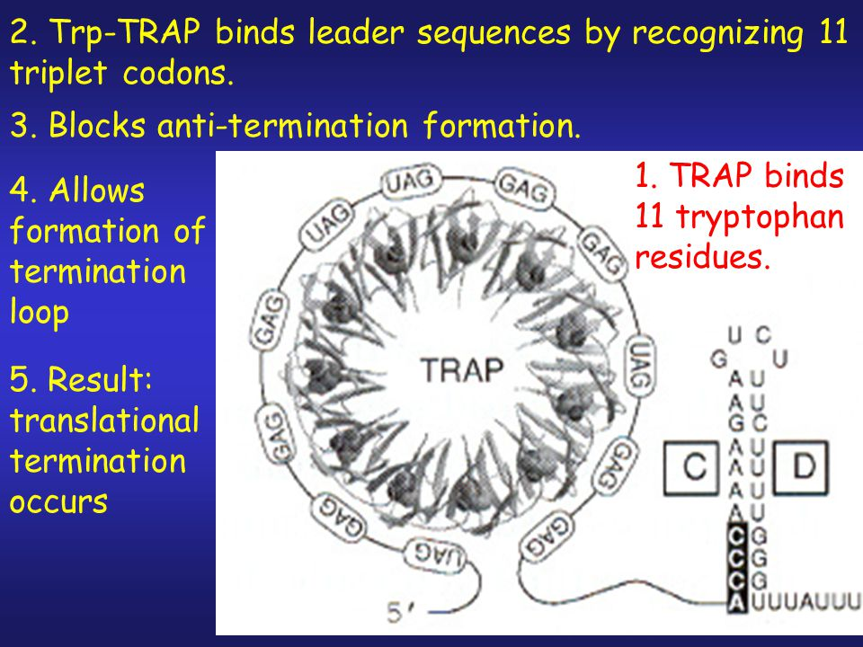 2. Trp-TRAP binds leader sequences by recognizing 11 triplet codons.