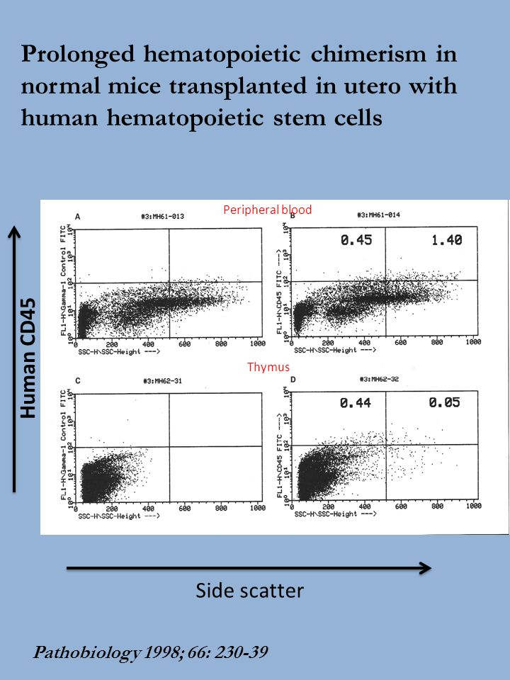 Prolonged hematopoietic chimerism in normal mice transplanted in utero with human hematopoietic stem cells