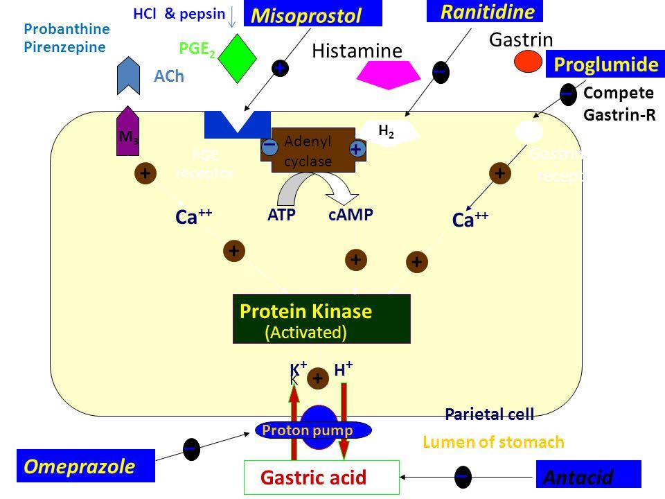 Ranitidine Proglumide Ca++ Ca++