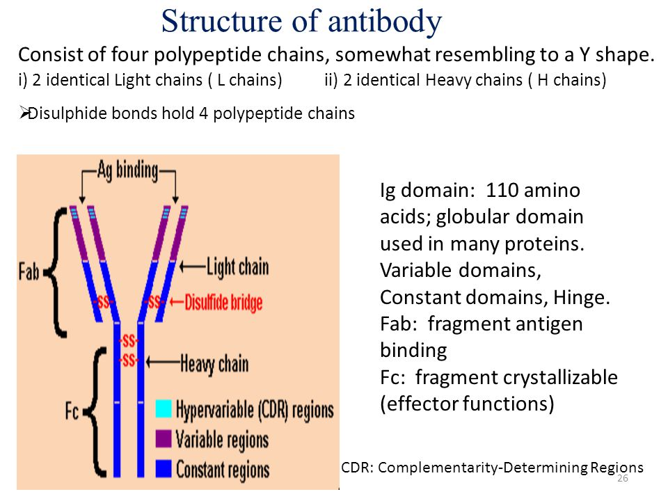 Structure of antibody