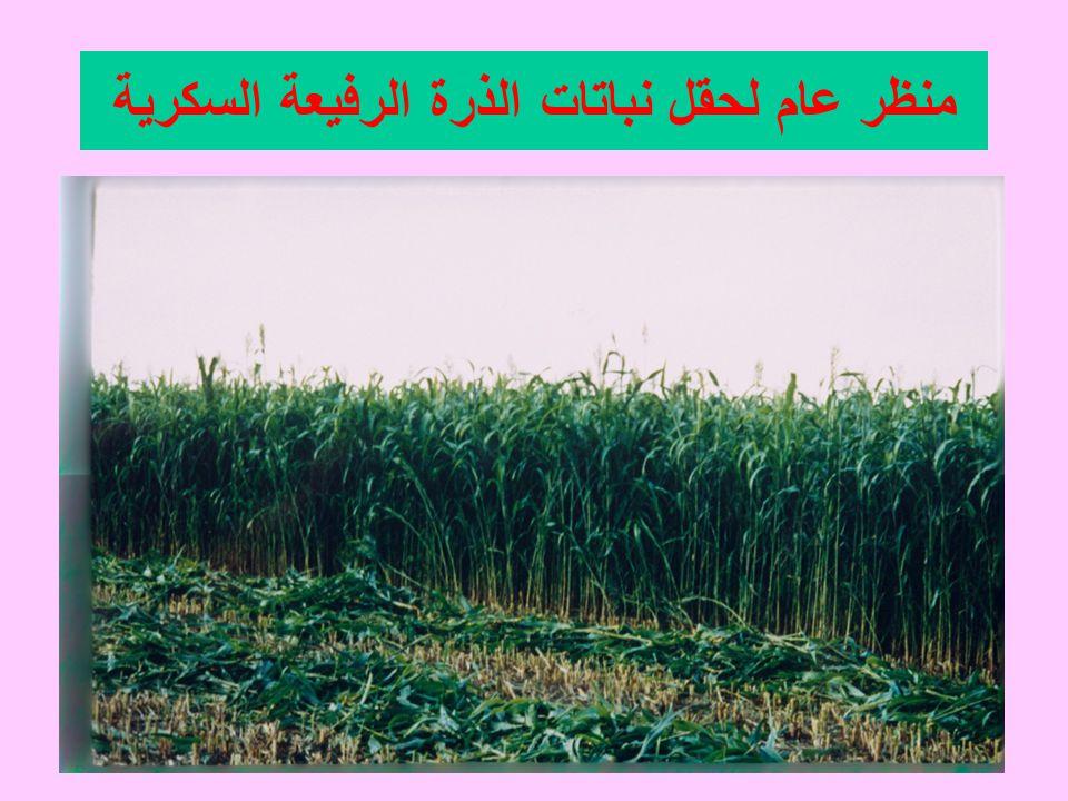 منظر عام لحقل نباتات الذرة الرفيعة السكرية