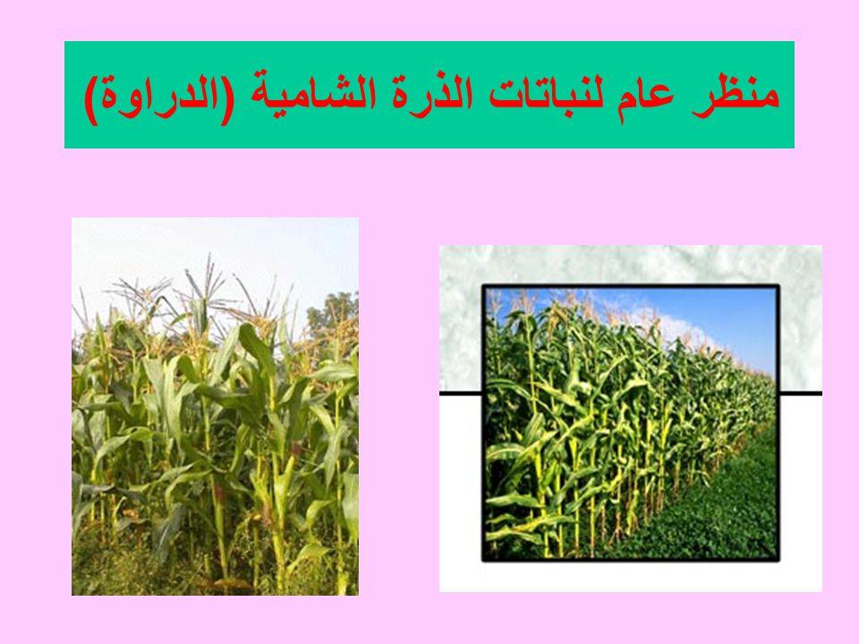 منظر عام لنباتات الذرة الشامية (الدراوة)