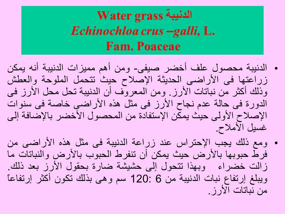 الدنيبة Water grass Echinochloa crus –galli, L. Fam. Poaceae