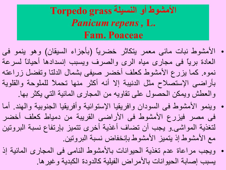 الأمشوط أو النسيلةTorpedo grass Panicum repens , L. Fam. Poaceae