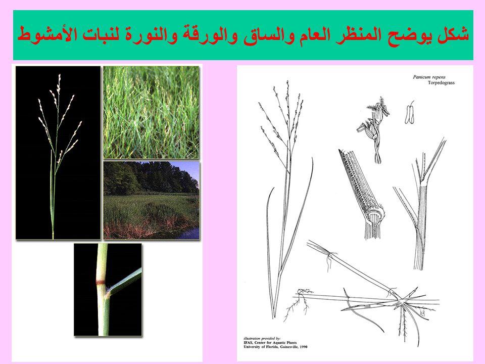 شكل يوضح المنظر العام والساق والورقة والنورة لنبات الأمشوط