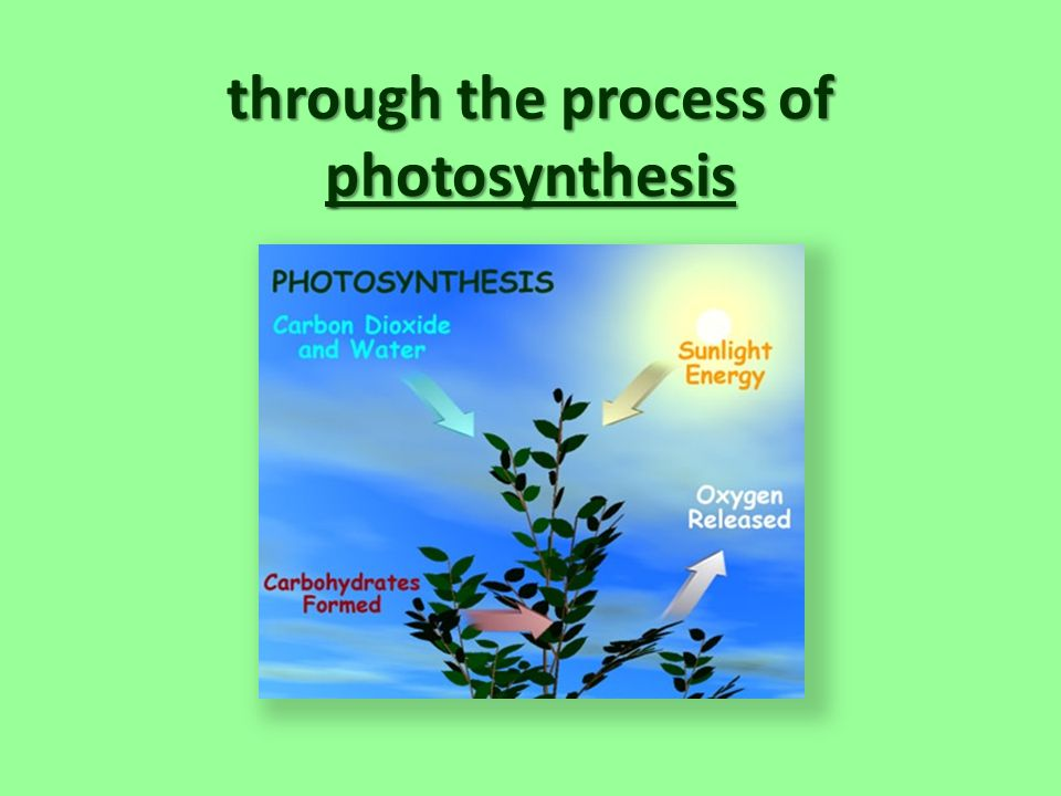 through the process of photosynthesis