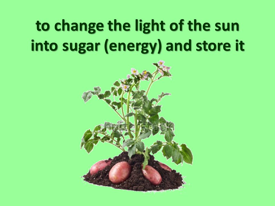 to change the light of the sun into sugar (energy) and store it
