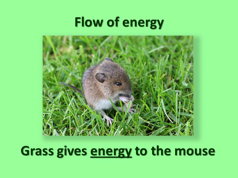 Grass gives energy to the mouse