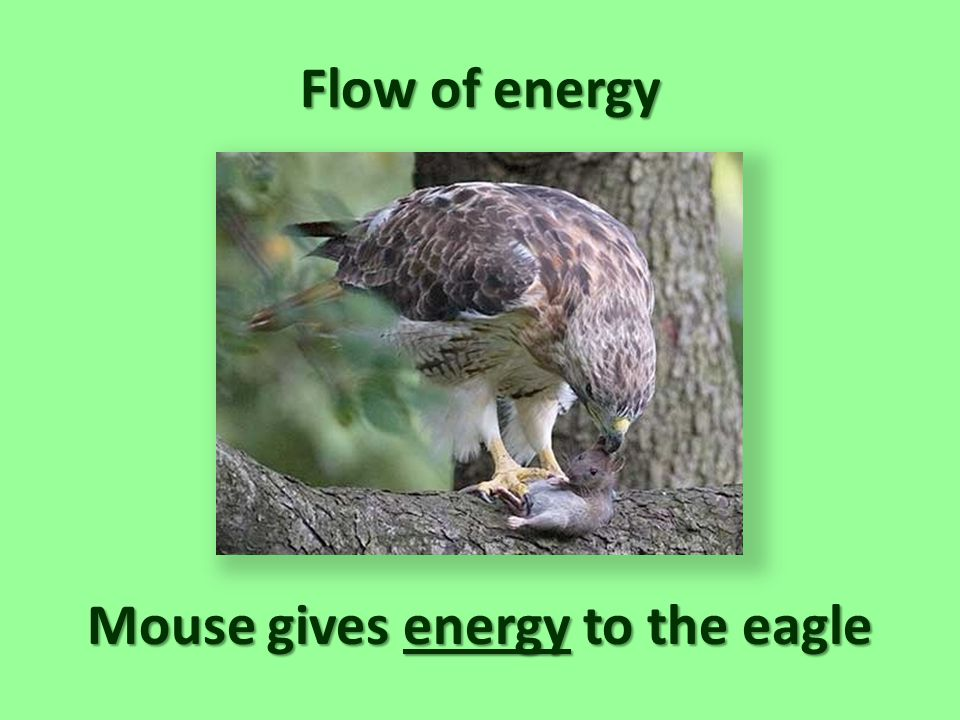 Mouse gives energy to the eagle