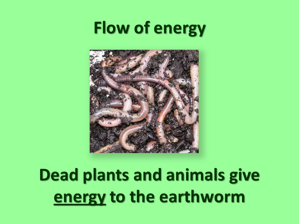 Dead plants and animals give energy to the earthworm