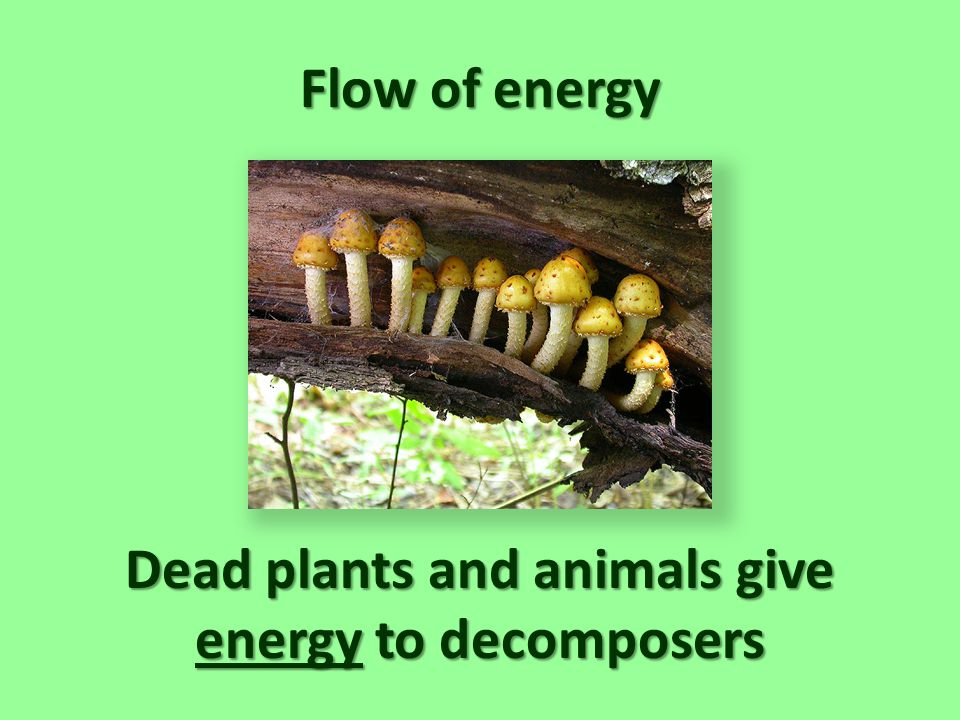 Dead plants and animals give energy to decomposers
