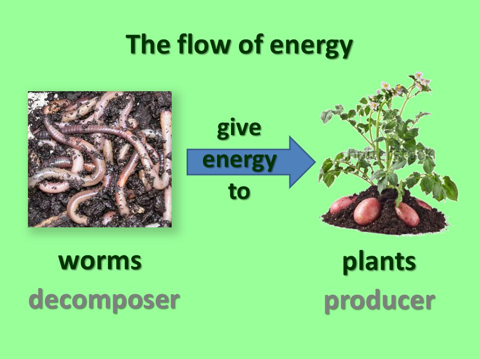 The flow of energy worms plants decomposer producer