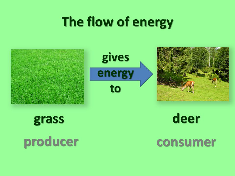 The flow of energy grass deer producer consumer