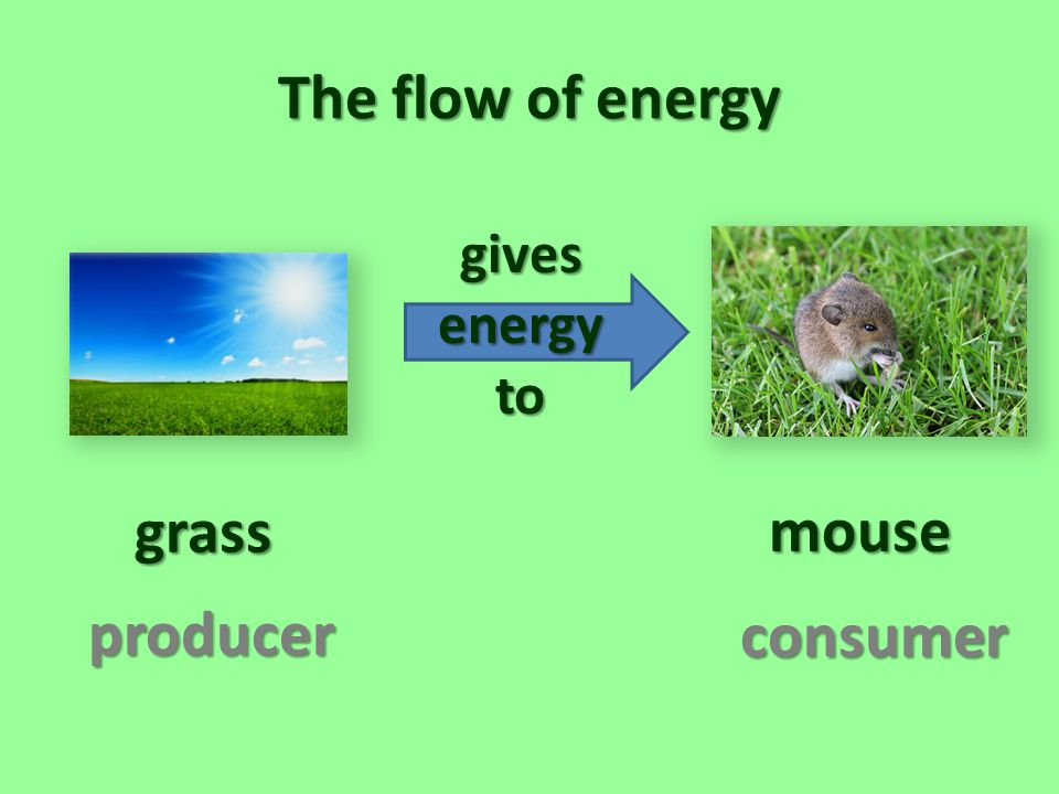 The flow of energy grass mouse producer consumer