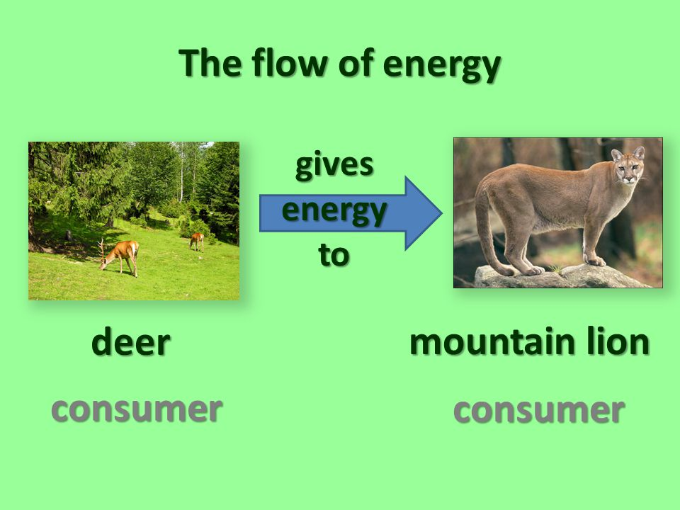 The flow of energy deer mountain lion consumer consumer