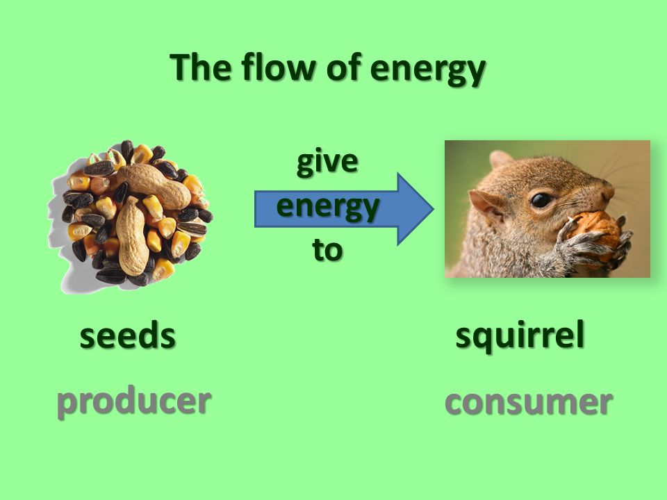The flow of energy seeds squirrel producer consumer