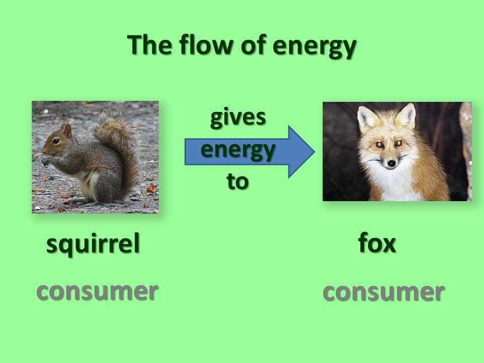 The flow of energy squirrel fox consumer consumer