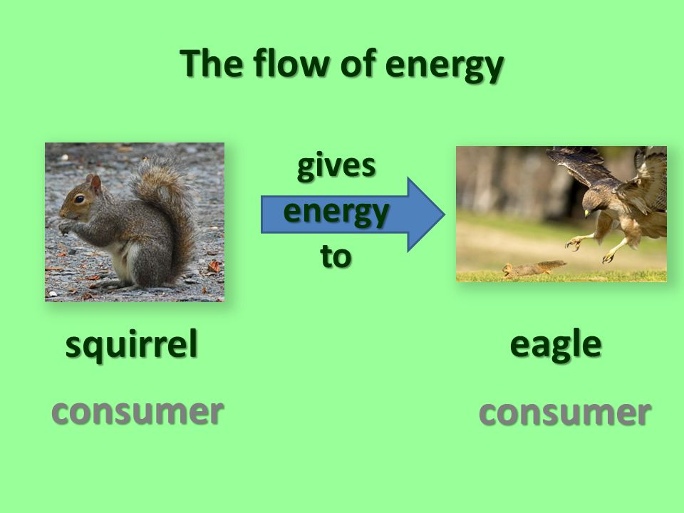 The flow of energy squirrel eagle consumer consumer