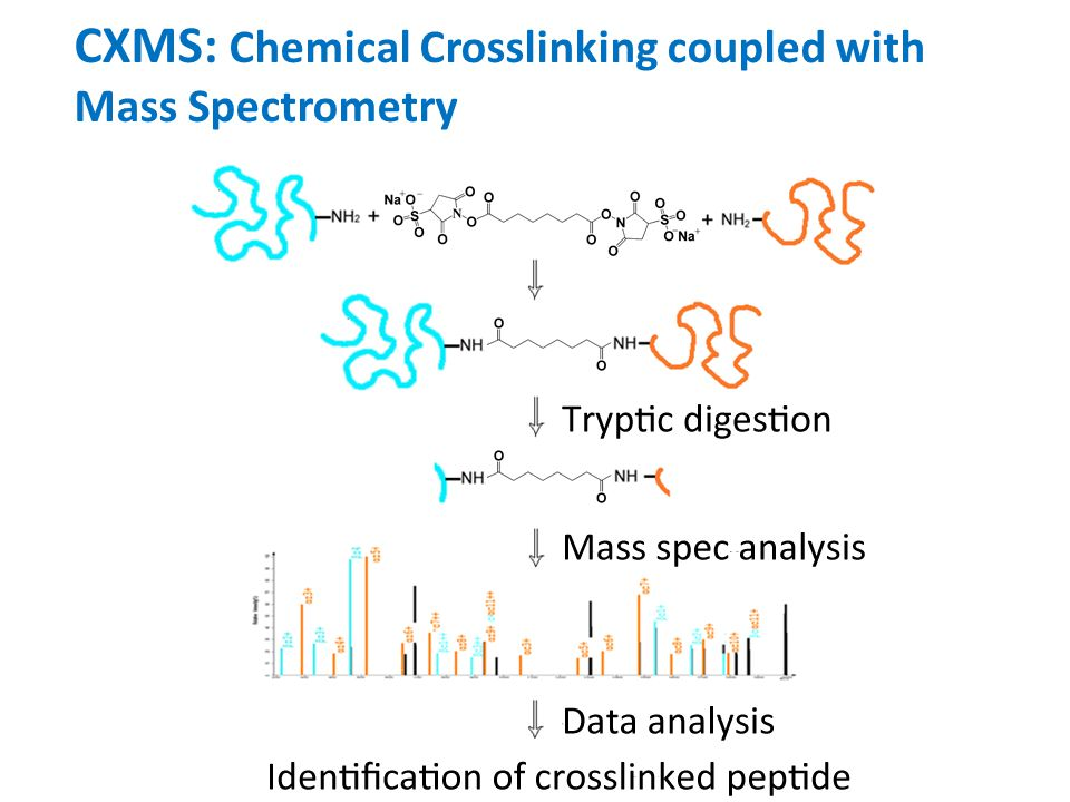 CXMS: Chemical Crosslinking coupled with Mass Spectrometry