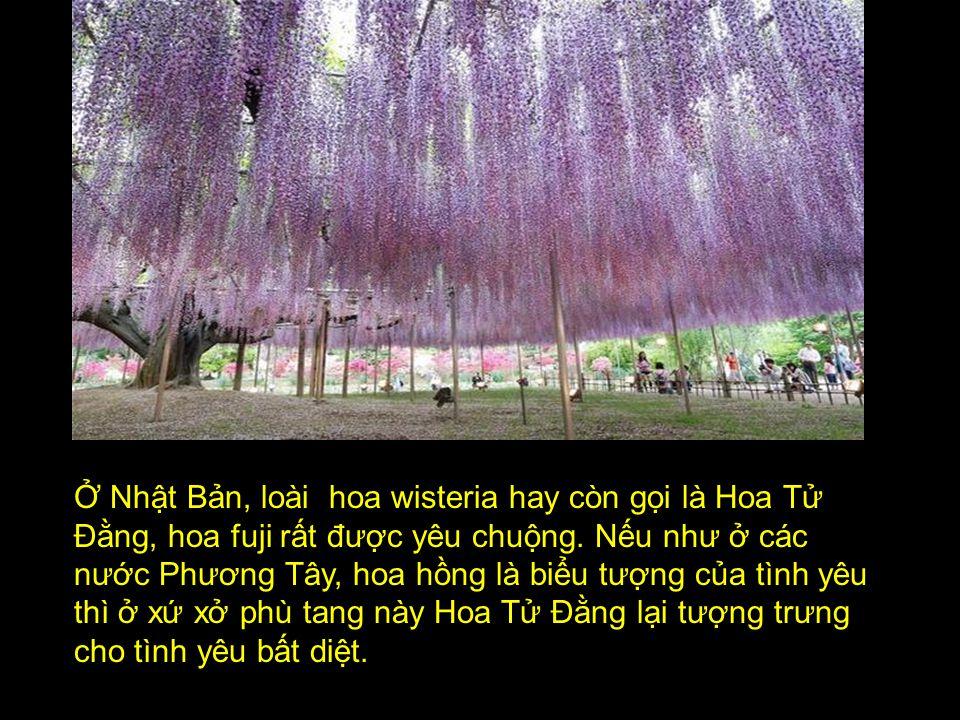 Ở Nhật Bản, loài hoa wisteria hay còn gọi là Hoa Tử Đằng, hoa fuji rất được yêu chuộng.