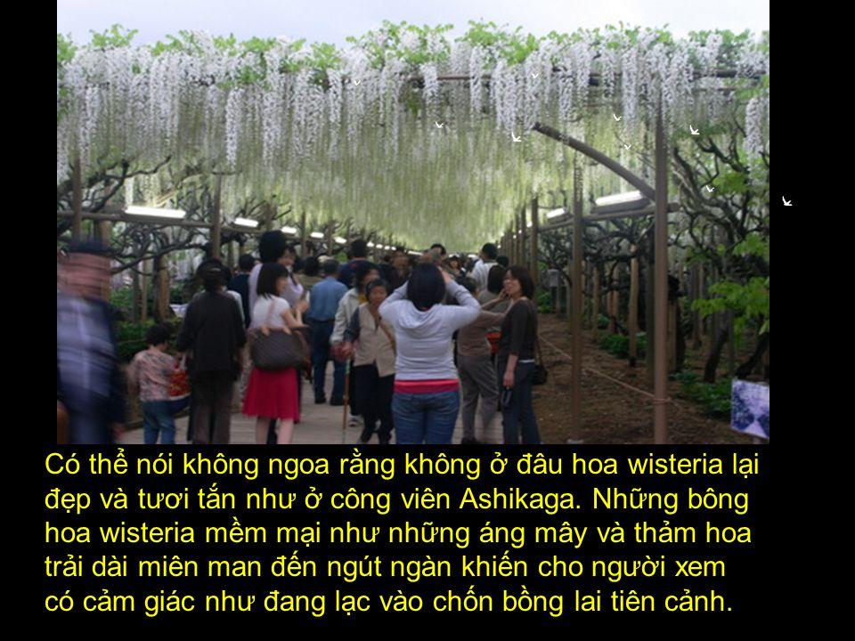 Có thể nói không ngoa rằng không ở đâu hoa wisteria lại đẹp và tươi tắn như ở công viên Ashikaga.