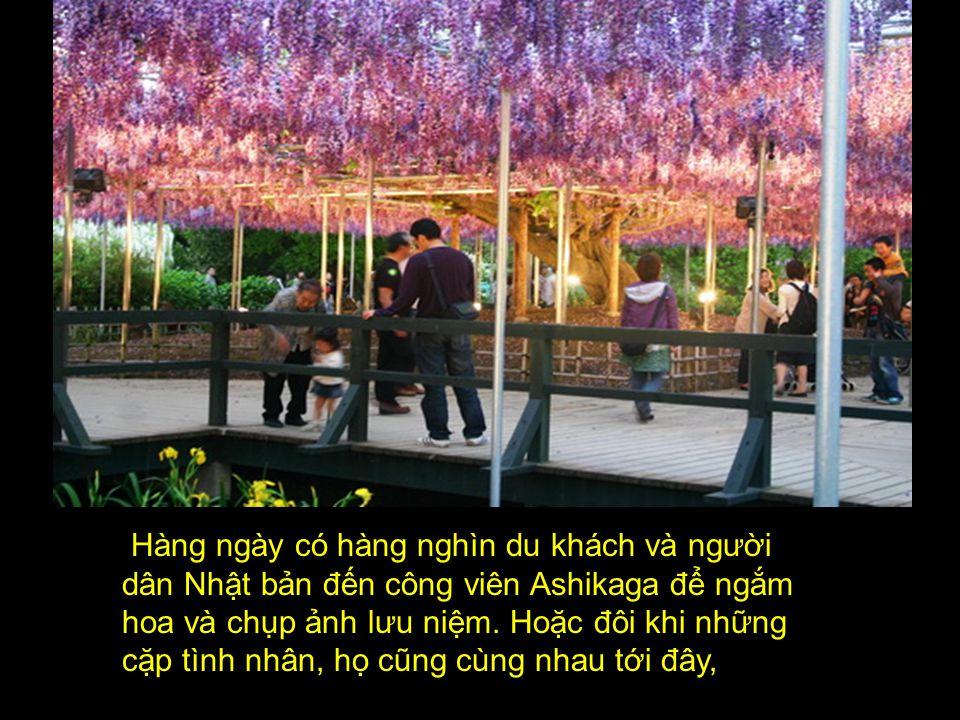 Hàng ngày có hàng nghìn du khách và người dân Nhật bản đến công viên Ashikaga để ngắm hoa và chụp ảnh lưu niệm.