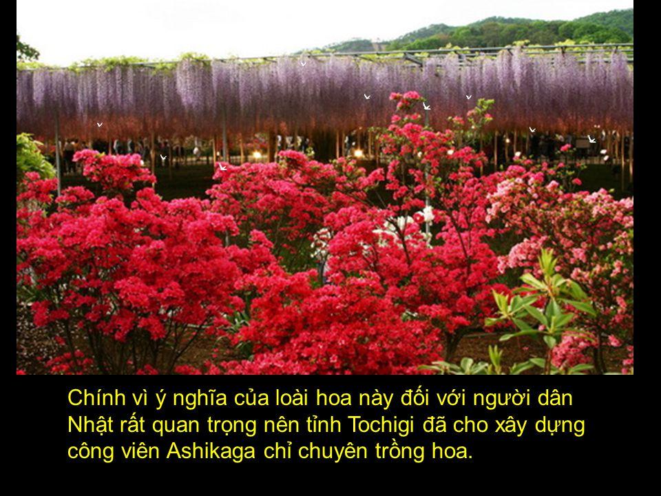 Chính vì ý nghĩa của loài hoa này đối với người dân Nhật rất quan trọng nên tỉnh Tochigi đã cho xây dựng công viên Ashikaga chỉ chuyên trồng hoa.