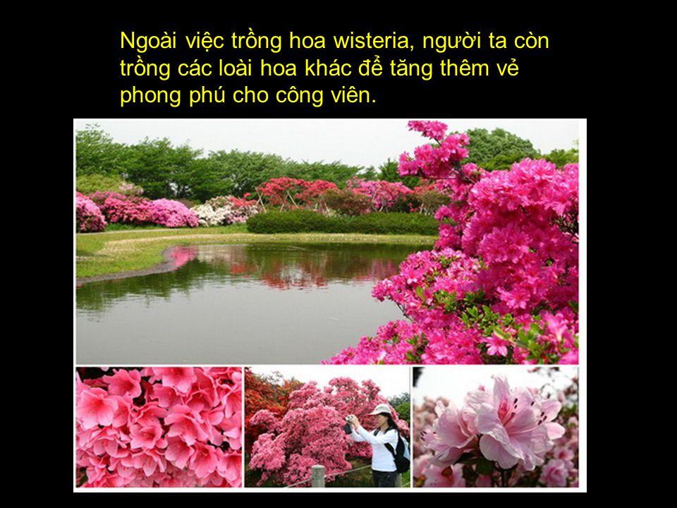 Ngoài việc trồng hoa wisteria, người ta còn trồng các loài hoa khác để tăng thêm vẻ phong phú cho công viên.