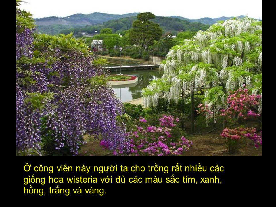 Ở công viên này người ta cho trồng rất nhiều các giống hoa wisteria với đủ các màu sắc tím, xanh, hồng, trắng và vàng.