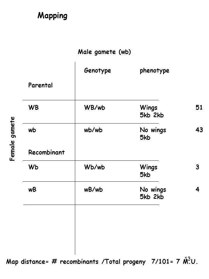 Mapping Male gamete (wb) Genotype phenotype Parental WB WB/wb Wings 51