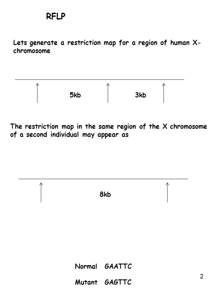 RFLP Lets generate a restriction map for a region of human X-chromosome. 5kb. 3kb.