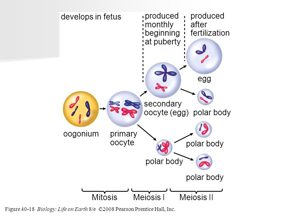 develops in fetus produced monthly beginning at puberty produced after