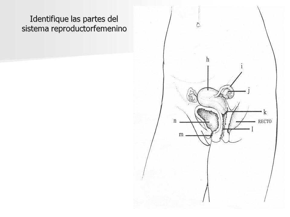 Identifique las partes del sistema reproductorfemenino