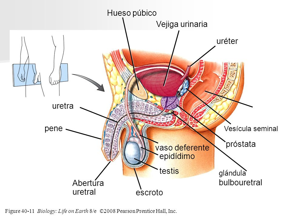 Hueso púbico Vejiga urinaria uréter uretra recto pene próstata