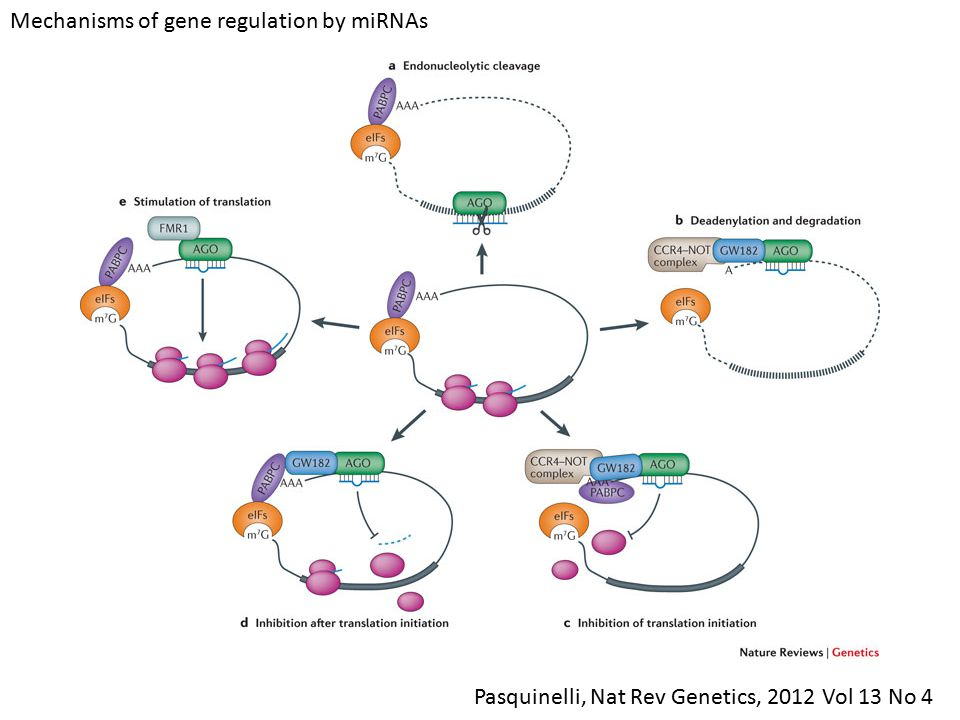 Mechanisms of gene regulation by miRNAs