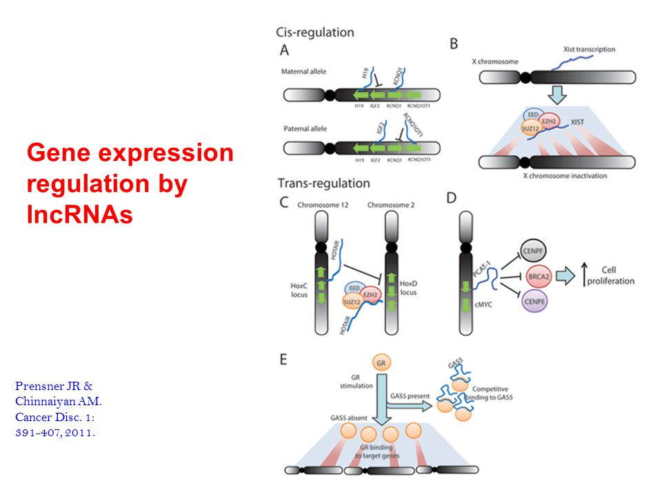 Gene expression regulation by lncRNAs Prensner JR & Chinnaiyan AM.