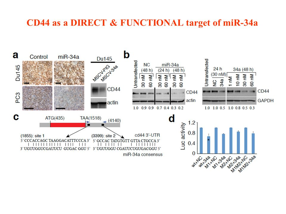 CD44 as a DIRECT & FUNCTIONAL target of miR-34a