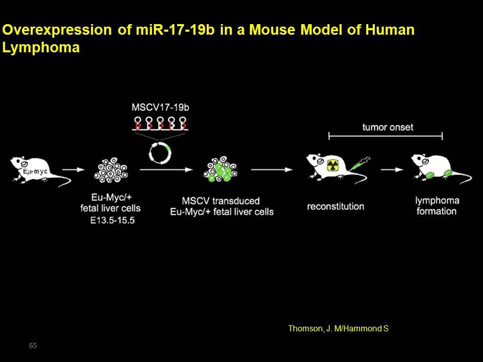 Overexpression of miR-17-19b in a Mouse Model of Human Lymphoma