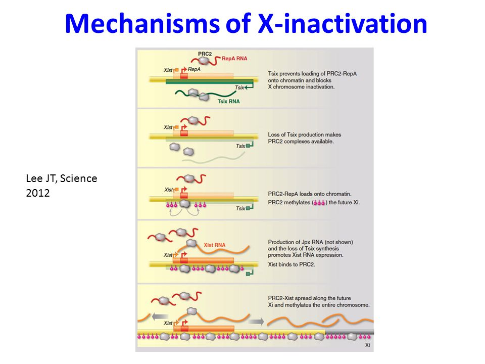 Mechanisms of X-inactivation