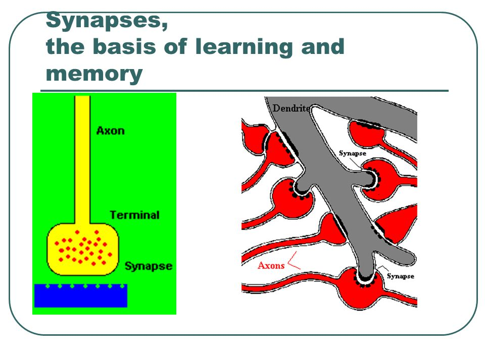 Synapses, the basis of learning and memory