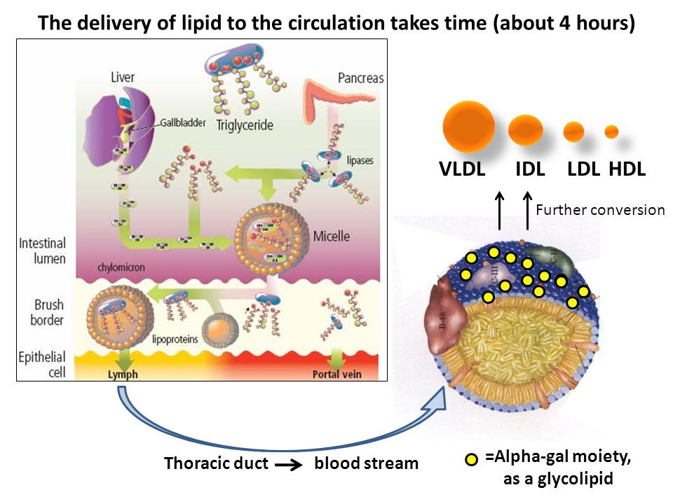 The delivery of lipid to the circulation takes time (about 4 hours)