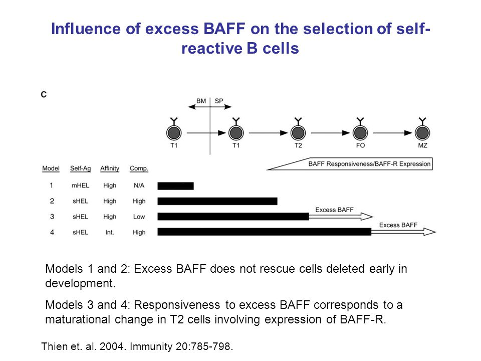 Influence of excess BAFF on the selection of self-reactive B cells