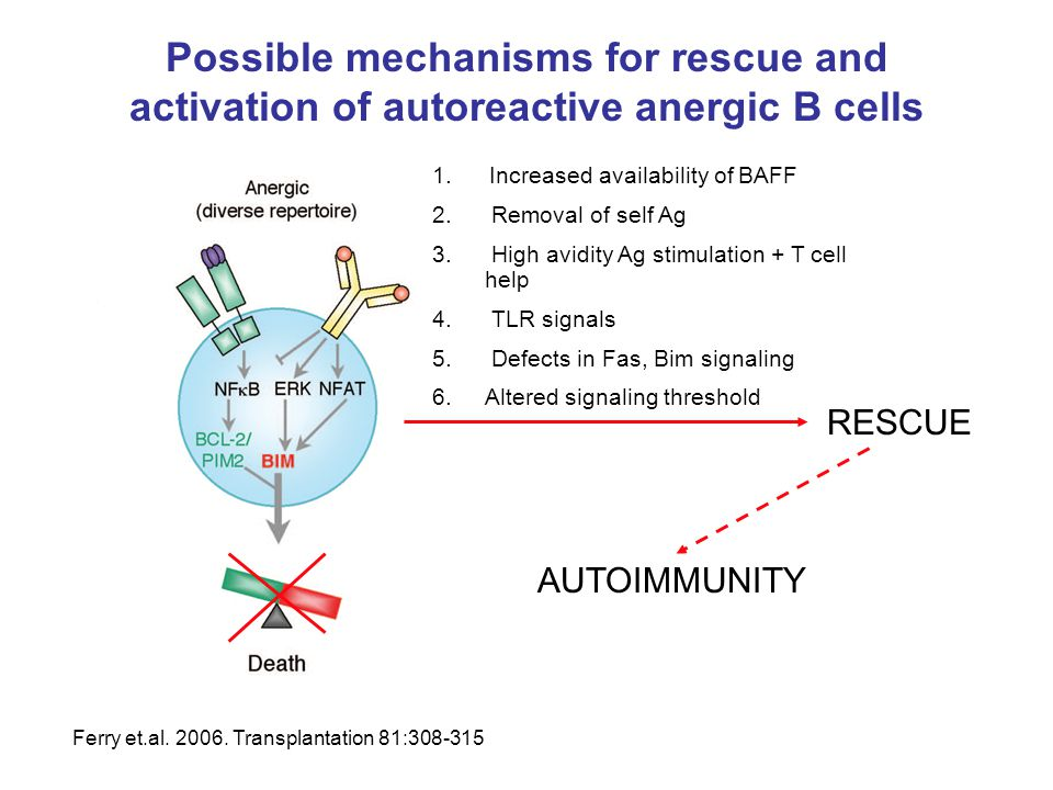 Possible mechanisms for rescue and activation of autoreactive anergic B cells