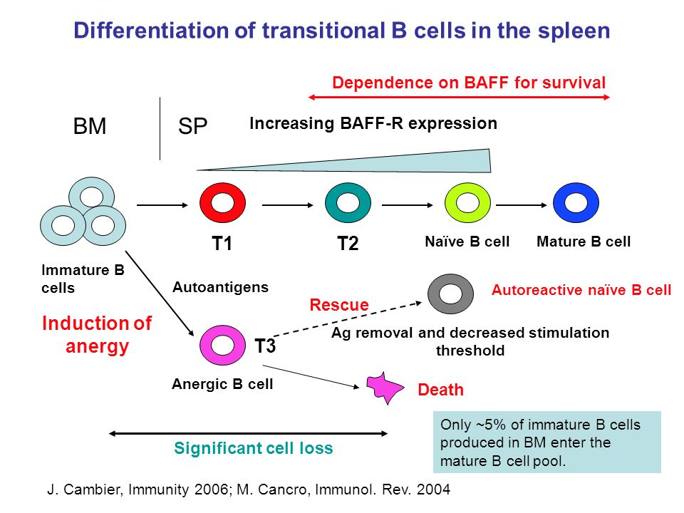 Differentiation of transitional B cells in the spleen